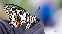 Schmetterling verliebt sich in Fototasche (petra.foto busy busy busy) Tags: fotopetra canon 5dmarkiii schmetterling natur tiere zitruswürfelfalter