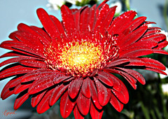 Gerber Daisey with Droplets (Lynn English) Tags: gerber daisey red droplets cloth coth5