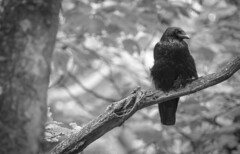 Watching (Pendlelives) Tags: crow carrion park bw white black tree nature leaves landscape leaf nikon long branch background wildlife gothic goth beak feathers raven thick marsden pendle p1000 pendlelives