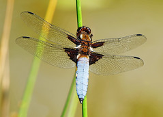 Male Broad-bodied Chaser (Nigel B2010) Tags: dragonfly nature broadbodied chaser wildlife countryside july summer lake east midlands