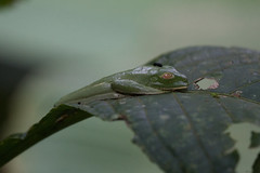 Red-eyed tree frog (Byron Taylor) Tags: twotoessloth capuchin redeyedtreefrog treefrog amphibian monkey sloth