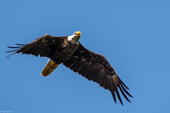 Fly over (Fred Roe) Tags: nikond7100 nikonafsnikkor200500mm156eed nature naturephotography national wildlife wildlifephotography animals birds birding birdwatching birdwatcher birdinflight raptor eagle baldeagle haliaeetusleucocephalus colors outside flickr peacevalleypark