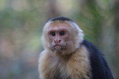 White-faced Capuchin (Byron Taylor) Tags: twotoessloth capuchin redeyedtreefrog treefrog amphibian monkey sloth
