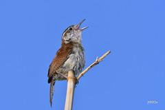Carolina Wren (jt893x) Tags: 150600mm bird carolinawren d500 jt893x juvenile nikon nikond500 sigma sigma150600mmf563dgoshsms songbird thrythorusludovicianus wren thesunshinegroup coth alittlebeauty sunrays5 coth5