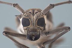 longhornbeetlejpeg© (hasankutaygündoğan) Tags: macro makro beetle longhornbeetle insects bug componon80mm focusstacking extrememacro entomology cerambycidae kınkanatlılar arthropoda