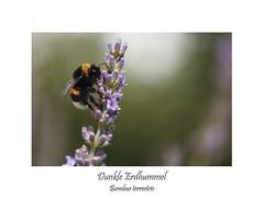 Insektenmakro (ernst.ruhe) Tags: hautflügler hymenoptera insecta insektenmakro dunkleerdhummel bombusterrestris