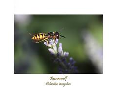 Insektenmakro (ernst.ruhe) Tags: hymenoptera hautflügler wespen bienenwolf philanthustriangulum grabwespen crabronidae