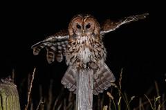 tawny owl (ianrobertcole1971) Tags: tawny owl bid raptor prey nocturnal strix aluco nikon nature wild wildlife