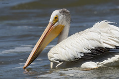 American White Pelican (featherweight2009) Tags: americanwhitepelican pelecanuserythrorhynchos pelicans waterbirds birds