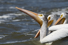 American White Pelicans (featherweight2009) Tags: americanwhitepelican pelecanuserythrorhynchos pelicans waterbirds birds