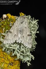 The Miller (Acronicta leporina) (gcampbellphoto) Tags: the miller acronicta leporina moth insect nature wildlife macro north antrim gcampbellphoto
