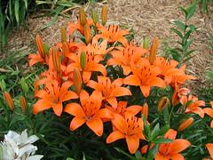 Lilium Asiatic hybrid 'Matrix Orange' DeGroot 6 6 5 (uacescomm) Tags: