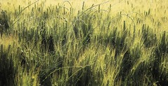 The swaying  movement of the Green Wheat moved by the Wind (Gigliola Spaziano) Tags: outside wheat green wind nature movement