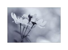 Wild Rose. (muddlemaker1967) Tags: hampshire nature photography wild rose blackwhite bokeh petals swanwick lakes reserve fujifilm xt2 fujinon xf 50140mm f28 r lm ois wr