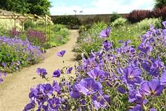 Geranium 'Orion' (Cambo_Gardens) Tags: cambogardens cambo garden geranium