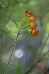 Primrose - VII (endresárvári) Tags: hungary budapest flower primrose garden nature spring plant light green canon