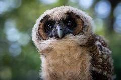Owl (michel1276) Tags: owl owls bird birds birdofprey animal tier eule greifvogel bokeh bokehful bokehlicious bokehlove