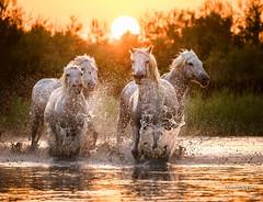 White horses (Piotr_ewaipiotr_pl) Tags: ifttt 500px pond sun outdoors animal horse camargue france summer water running splashing against action motion wet white horses