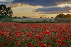 Poppy Field (Jan Knurek) Tags: poppyfields worcestershire bewdley poppies flowers scenes outdoors getoutside landscapes canon canonphotography