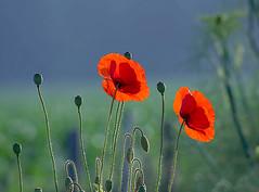 The power of the poppy. (genevieve van doren) Tags: poppies coquelicots garden jardin morning matin