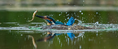 Kingfisher (ianrobertcole1971) Tags: kingfisher fishing diving water pond bird nikon nature wildlife