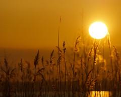 Tramonto sul lago (Darea62) Tags: sunset landscape lake ear nature tramonto massaciuccoli lago versilia toscana massarosa paesaggio spighe outside sky sonyalpha77