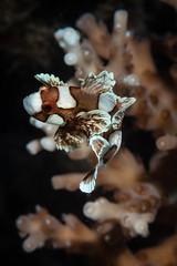 Juvenile sweetlips (Luko GR) Tags: dauin philippines visayas negros muck diving underwater critter macro sweetlips juvenile blackbackground