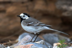 White wagtail (Picturavis) Tags: fehmarn strand vogel germany picturavis katharinenhof bachstelze deutschland beach whitewagtail motacillaalba bird tier animal