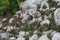 Oxyria digyna Lago-Naki July 2018 (Aidehua2013) Tags: oxyria digyna polygonaceae caryophyllales mountainsorrel plant flower lagonaki maikopdistrict adygea russia caucasus