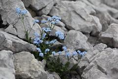 Myosotis alpestris Lago-Naki July 2018 (Aidehua2013) Tags: myosotis alpestris boraginaceae boraginales alpineforgetmenot plant flower lagonaki maikopdistrict adygea russia caucasus