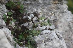Saxifraga paniculata Lago-Naki July 2018 (Aidehua2013) Tags: saxifraga paniculata saxifragaceae saxifragales encrustedsaxifrage plant flower lagonaki maikopdistrict adygea russia caucasus