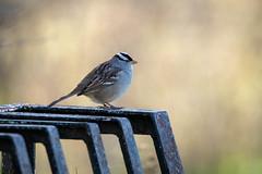 White Crowned Sparrow (NicoleW0000) Tags: whitecrownedsparrow songbird bird sparrow nature wildlife outdoors ontario