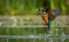 Kingfisher (ianrobertcole1971) Tags:
