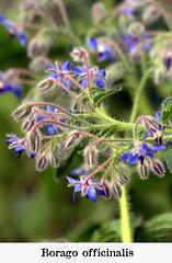 Borago officinalis (M. Martin Vicente) Tags: fotosgratis jardínbotánicodemadrid mayo plantasyflores borago officinalis
