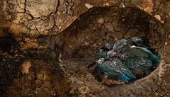 kingfisher nest-4 (ianrobertcole1971) Tags: