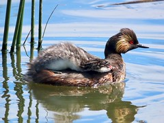 365-5-184 Mom, can I stay up here FOREVER? (benlarhome) Tags: franklake highriver alberta canada earedgrebe podicepsnigricollis