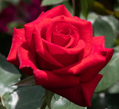 Kardinal Rose Hybrid Tea (ksblack99) Tags: dowgardens garden rose kardinal red