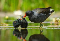 Moorhen and young (ianrobertcole1971) Tags: moorjen rail rallus motherhood water parenting nature feeding wildlife