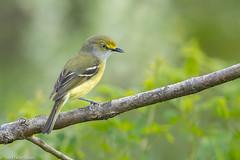 CA3I9607-White-eyed Vireo (tfells) Tags: whiteeyedvireo bird nature wildlife newjersey baldpatemountain vireogriseus