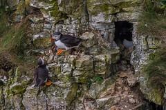 Puffin's at Bempton Cliffs 02-07-2019 (sean@bradford) Tags: bemptoncliffs bempton eastyorkshire yorkshire birds bird wildlife wildlifenature nature puffin puffins rspb