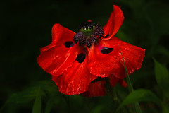 I'm Into Red... (Lindaw9) Tags: oriental poppy red my garden foliage northern ontario macro