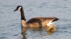 Canada Goose Family at Dusk (ksblack99) Tags: canadagoose family brantacanadensis gosling
