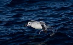 Southern Fulmar (Fulmarus glacialoides) (Kremlken) Tags: fulmarusglacialoides pelagic seabirds ocean chilean birds birding birdwatching tours nikon500 humboldtcurrent