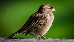 Tawharanui_20180526_095701 (m_milan) Tags: animal bird closeup nature outdoor sparrow matakana northisland newzealand