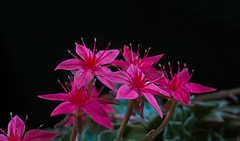 Graptopetalum bella