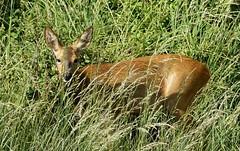RX302603 (gosport_flyer) Tags: animal wild doe hampshire wildlife