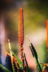 Completes the Score (Thomas Hawk) Tags: america arizona desertbotanicalgarden papagopark usa unitedstates unitedstatesofamerica cacti cactus desert flower flowers phoenix fav10