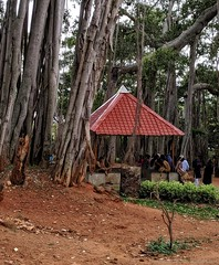 Giant Banyan tree, Bangalore, India (dksesha) Tags: seshadri dhanakoti harita samvatsara googlepixel3xl googlepixel pixel3 pixel3xl bangalorebengalur karnataka banyantree tree sesh seshfamily haritasya vikaari vikaarisamvatsara google pixel tilottama u india banyan