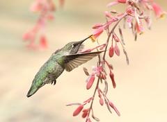 Anna's Hummer (C-O) Tags: ca bird nature june inflight hummingbird arboretum annas arcadia 25corr024 june25corr feeding