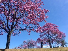 Down to earth . . . (ericrstoner) Tags: ipê ipêroxo trumpettree handroanthusimpetiginosus tree árvore flower flor blossom brasília distritofederal eixãosul bluesky bentovianafotografia drone trench passagemdepedestre couple casal